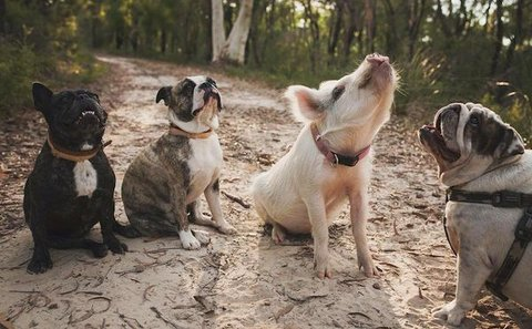 A-Pig-and-3-Dogs.jpg